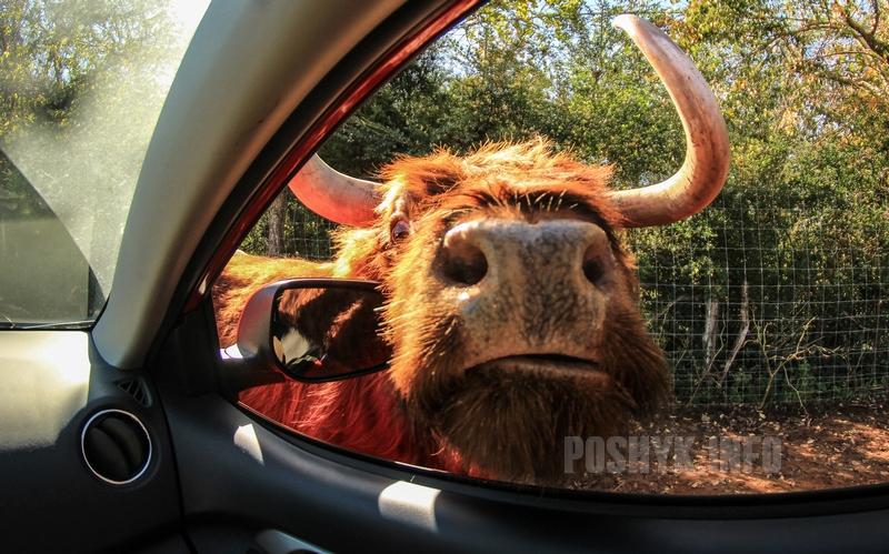 большой бык у машины
