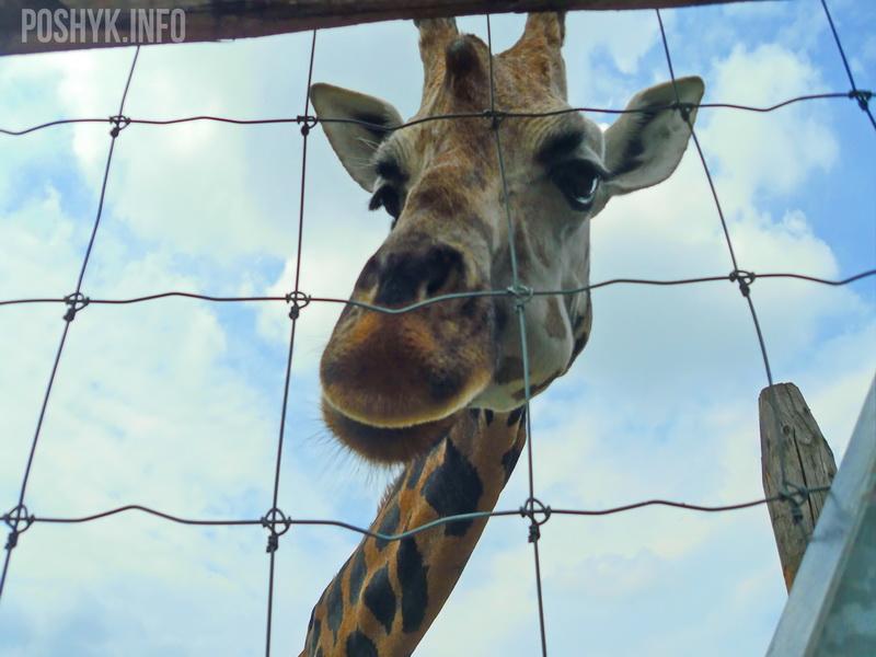 африканский жираф