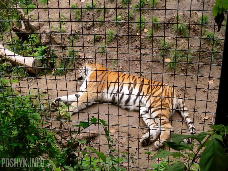 тигр фото