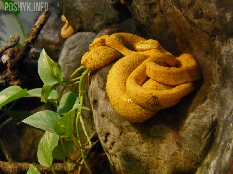 жёлтая змея фото