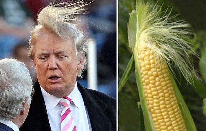 трамп прическа кукуруза