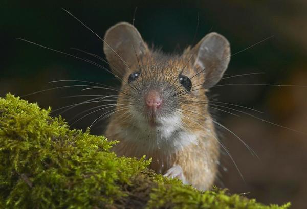 фотография мышь