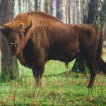 Всё о Зубре – символе Беларуси.