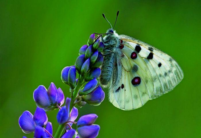 Бабочка апалон