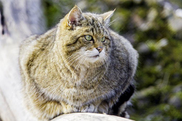 лесной кот в беларуси