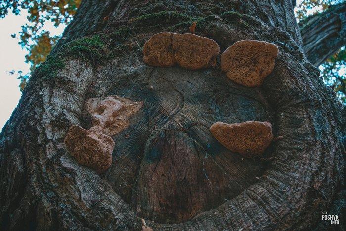 500 летней дуб в Ситцах