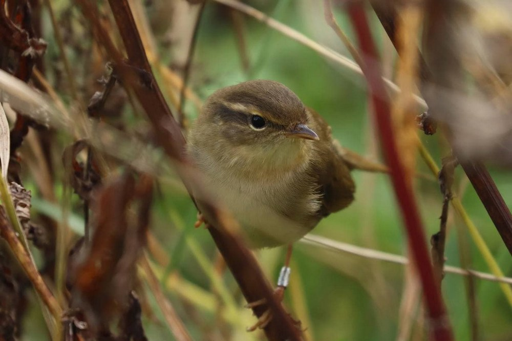Новый вид птиц Беларуси: гость из Сибири - толстоклювая пеночка
